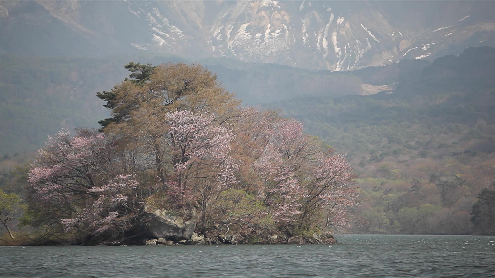 会津地方の桜1_0004_桜島2