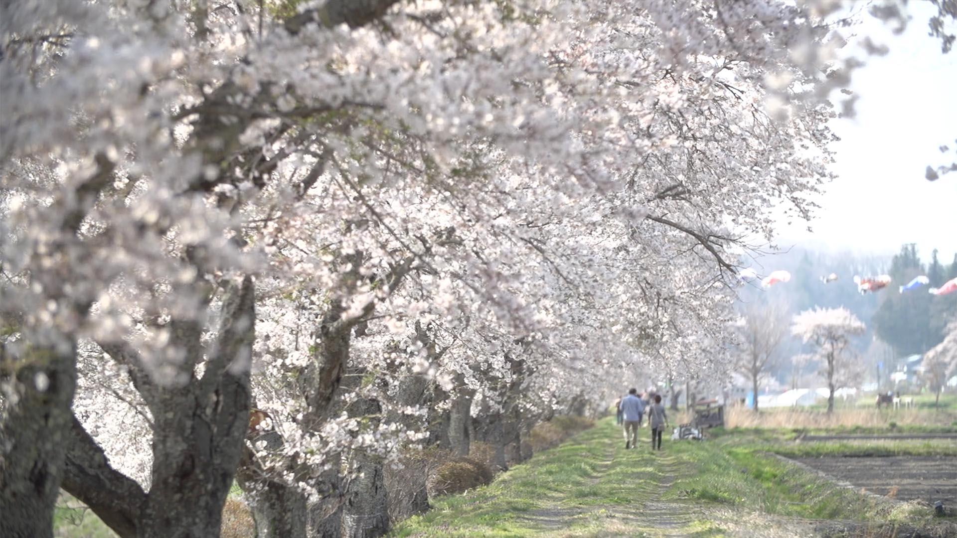 会津地方の桜1_0009_スクリーンショット 2015-01-30 10.54.05