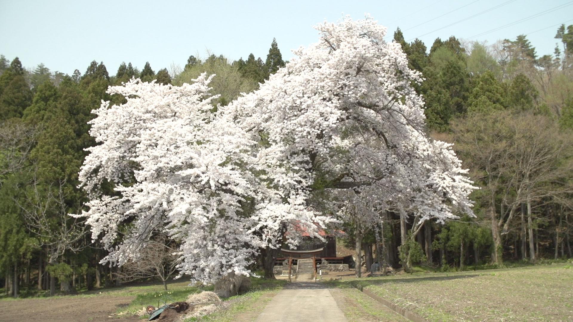 会津地方の桜3