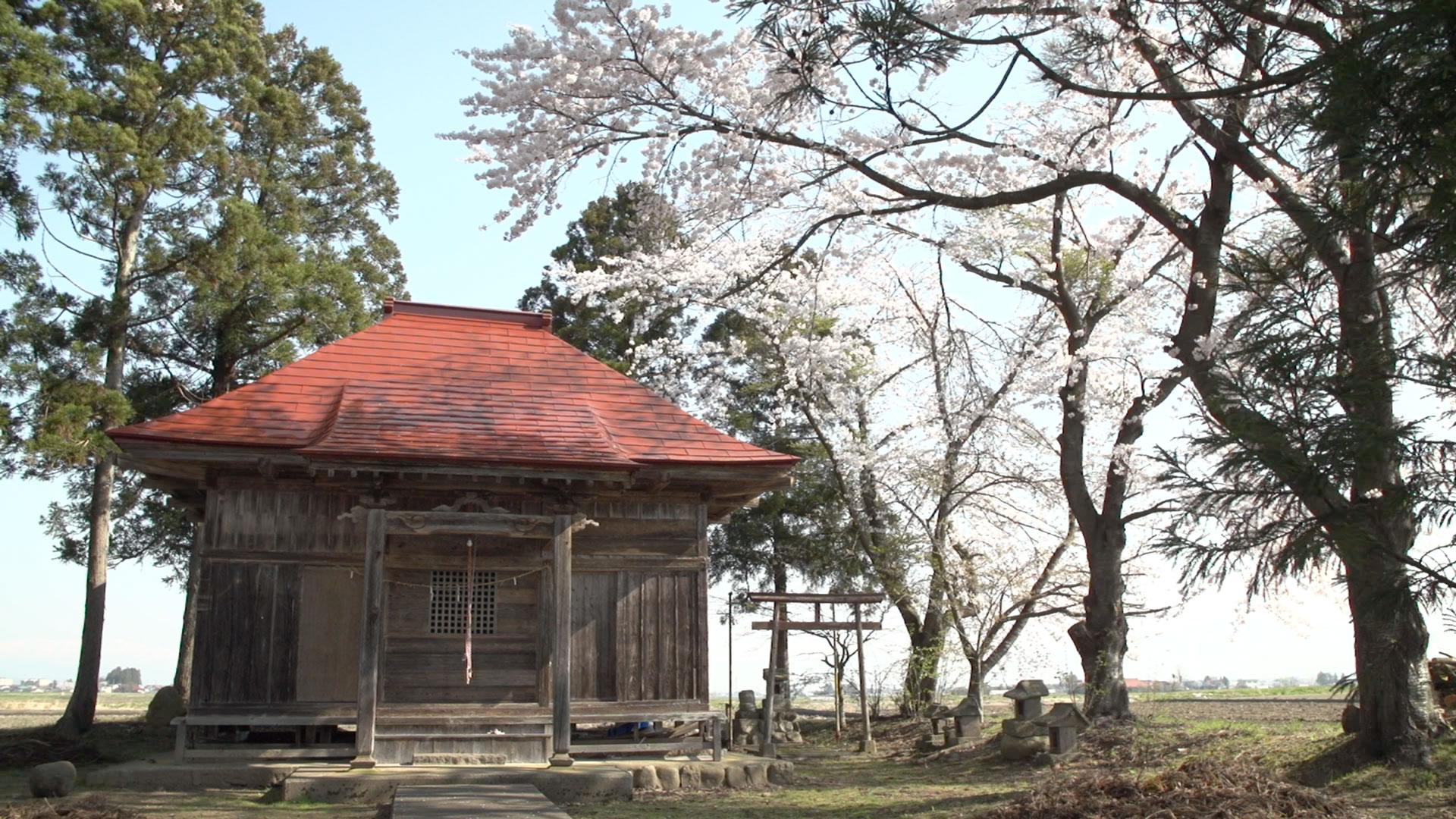 会津美里町の桜2